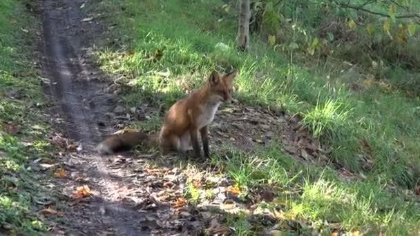 volpe bellissimi sedersi sulla strada forestale dautunno