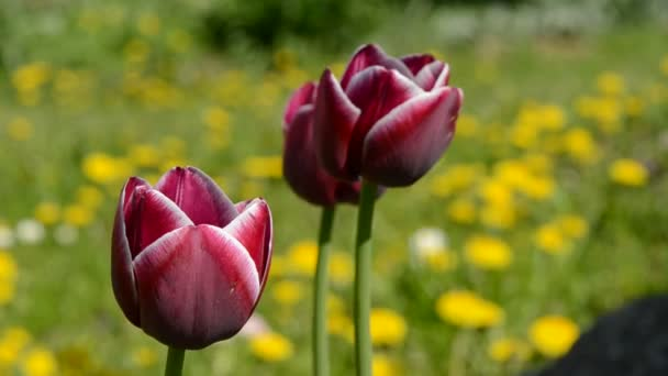Tulips in garden and spring wind