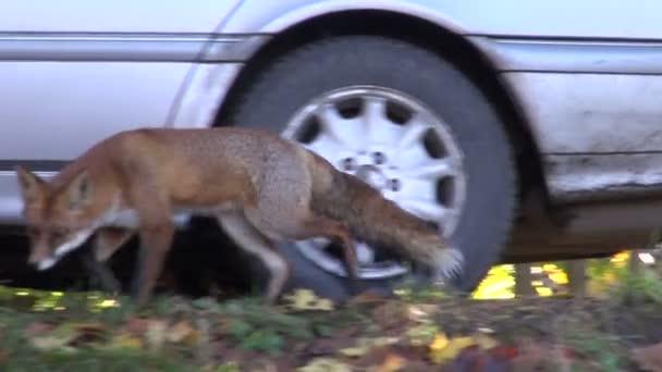 Animal fox in park near car