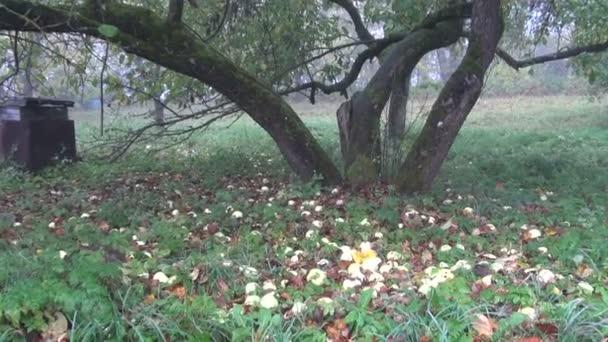 staré podzimní kmen stromu jablko a jablka v zahradě