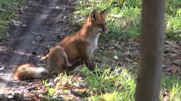 volpe dautunno sulla strada forestale