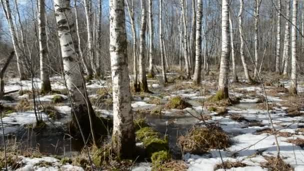 Frühling-Birken-Wald und Schnee