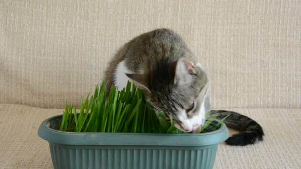 cat on the couch eating easter grass