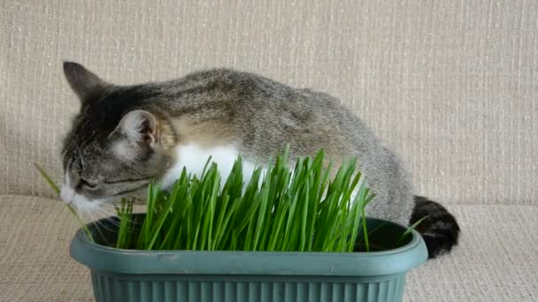 cat in the room eating cats grass