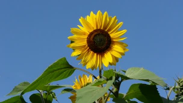 Slunečnice krásné květy a vítr