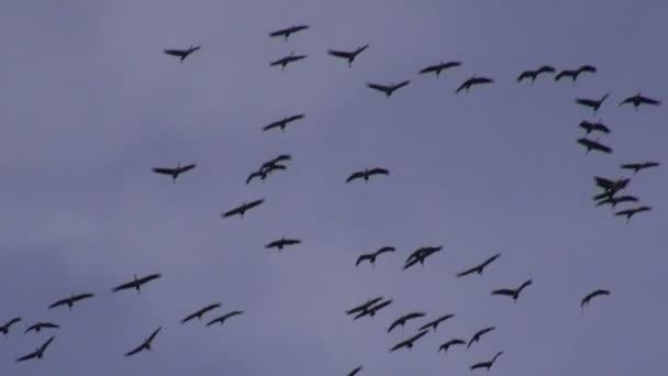 Jeřáby (Grus grus) v době podzimní migrace