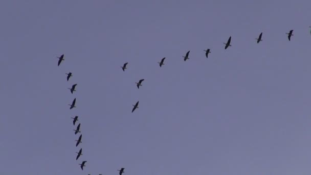 Jeřáby v podzimní obloze letu ptáků (Grus grus)
