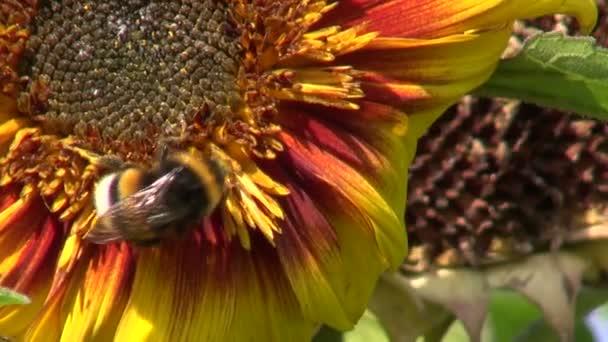 letní čmelák na slunečnicový květ
