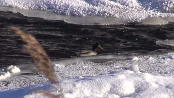 duck (Anas platyrynchos) on winter river water