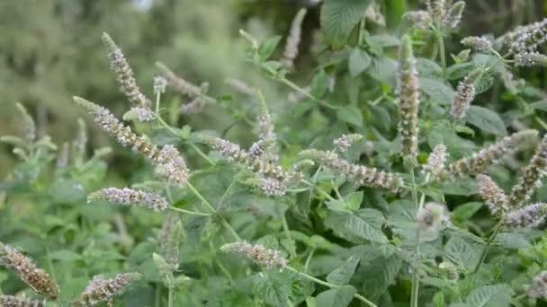 kvetoucí byliny máta (Mentha) a letní vítr