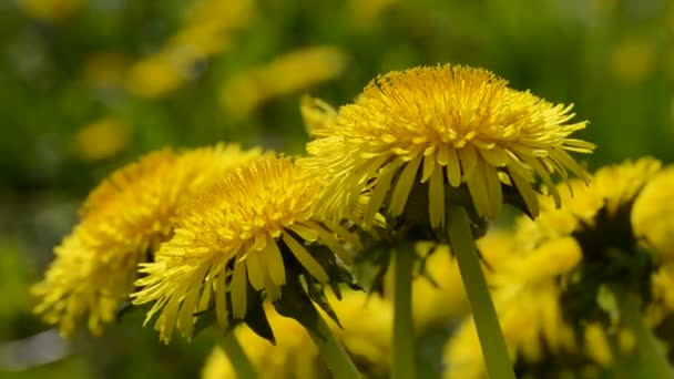 gyermekláncfű (Taraxacum officinale) virág-tavaszi szél