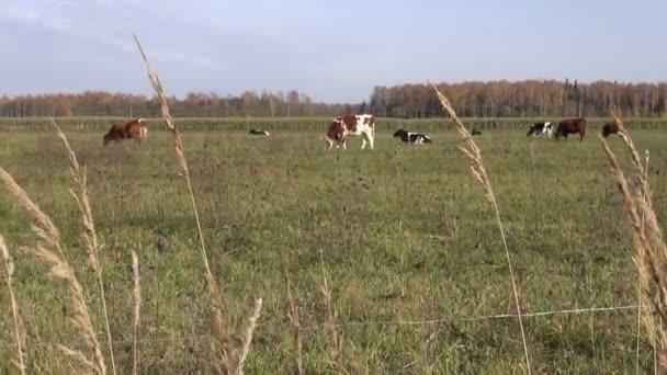 krávy na podzimní pole ve farmě