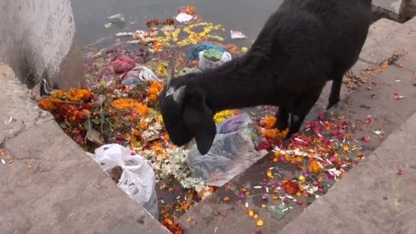 black goat on Ganges coast eating ceremony flowers in Varanasi,India