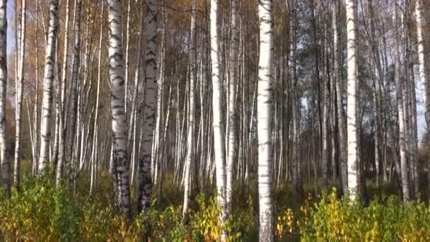 krásné podzimní březového lesa pozadí