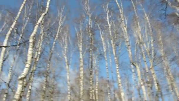 březový les v jaře a fotoaparát pohybu