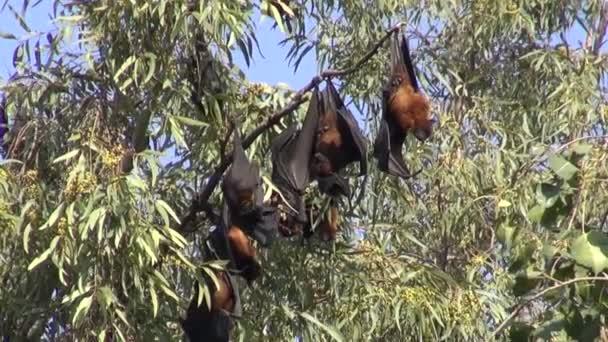 Flying Fox-Flughunde (Megachiroptera) am Baum im Park in Amritsar, Indien