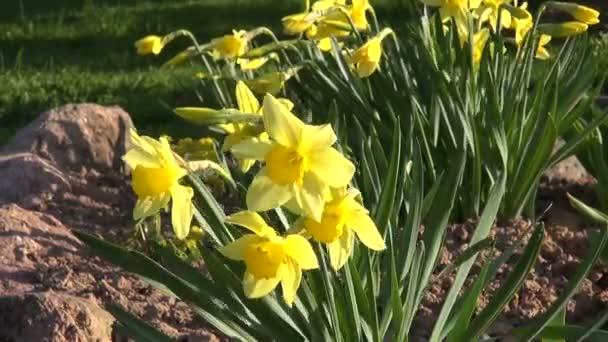 jarní žlutý Narcis ve větru