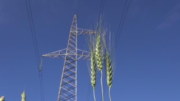 Žito uši ve větru a vysokonapěťových elektrických věž