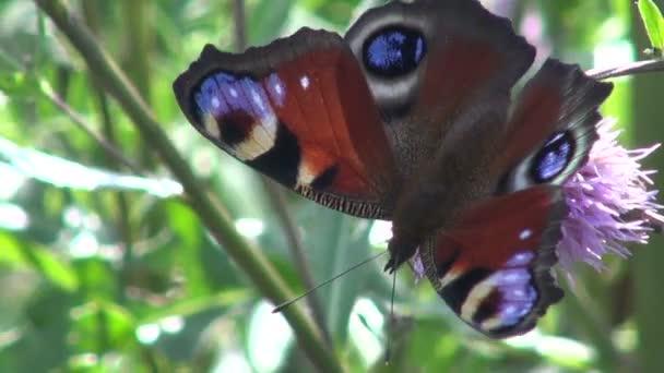 Krásná-paví oko (Inachis io) na květu bodláku