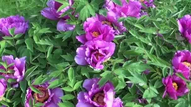 Szép pünkösdi rózsa virág virágok