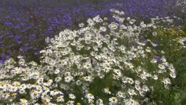 Kytice krásný letní pole ve větru. Marguerite a chrpy