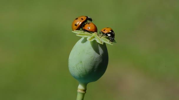 tři berušky na zelené mák box. jeden bug hmyzu začít létat