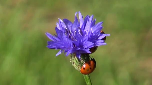 coccinelle bella coccinella su fiore blu fiordaliso