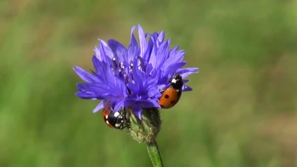 coccinelle bella coccinella insetto su fiore Fiordaliso