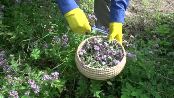 Cut fresh medical wild majoram oregano  herb