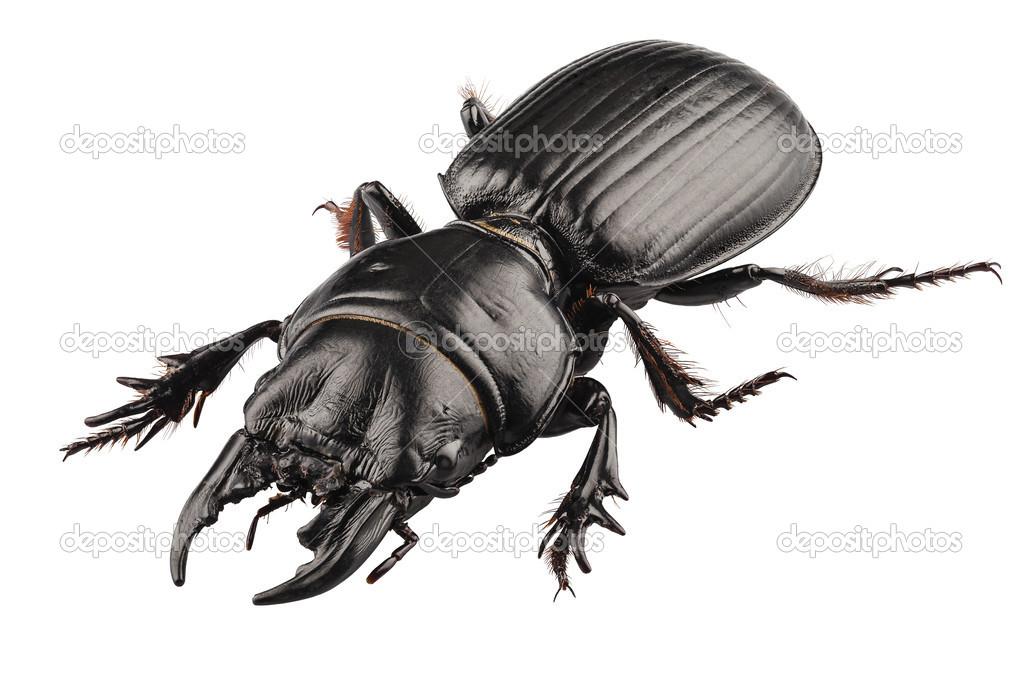 Käfer Arten Hirschkäfer Stockfoto Paulrommer 24300353