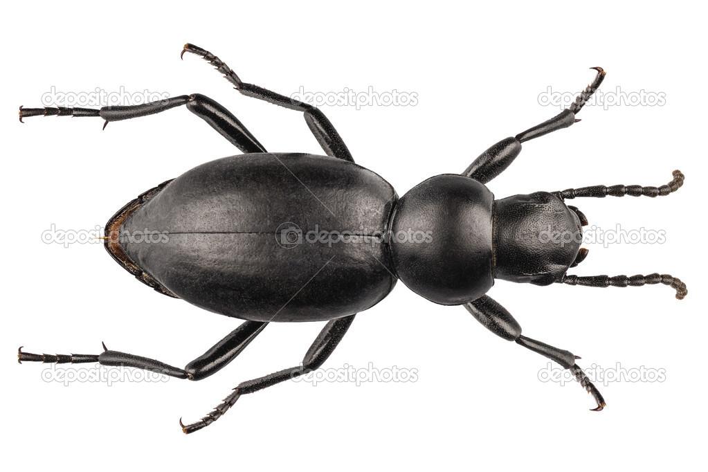 Käfer Arten Tentyria Peiroleri Stockfoto Paulrommer 25074127