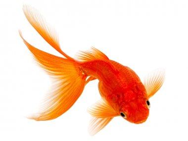 """Картина, постер, плакат, фотообои """"золотая рыба на белом фоне постеры картины цветы насекомые"""", артикул 36854193"""