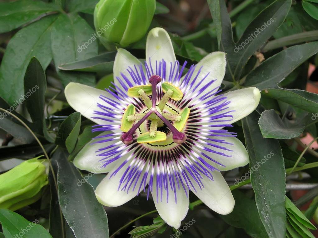 Passifloraceae plant flowers