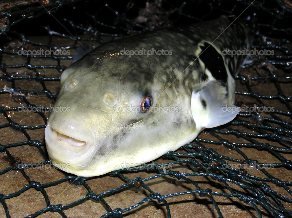 Closeup of fugu