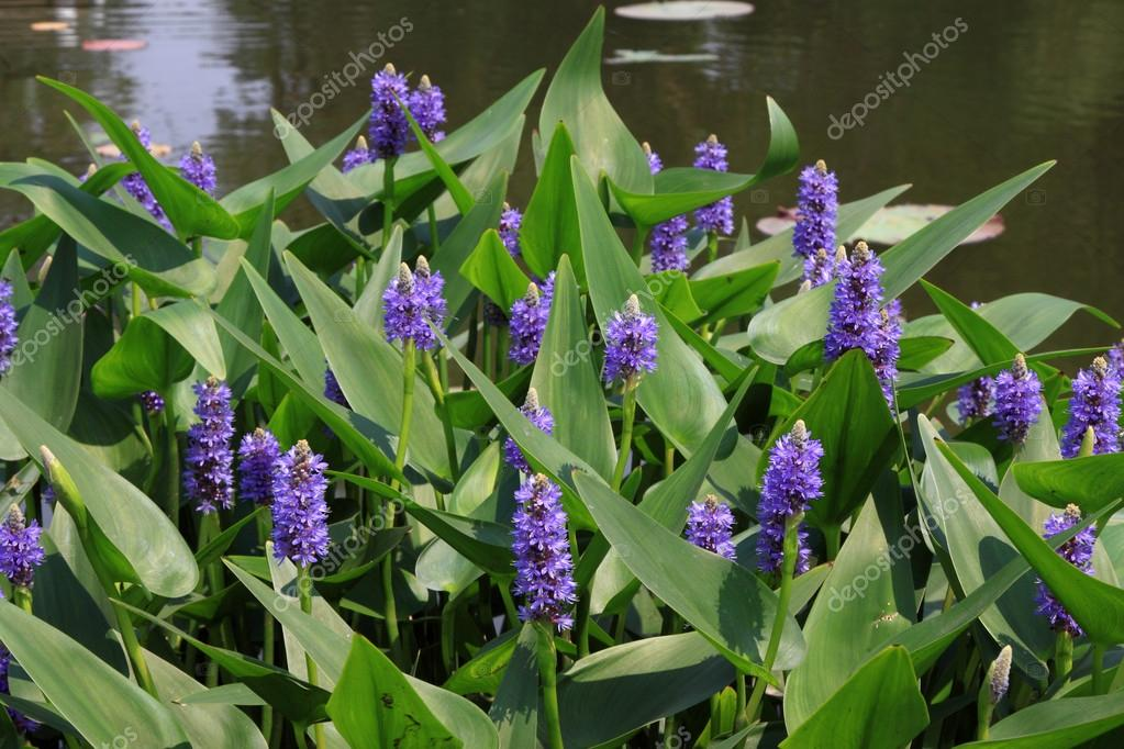 Purple Flower Weed In A Park Stock Photo Lnzyx 21233797