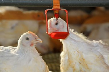 Two chickens are drinking water, in a chicken farm