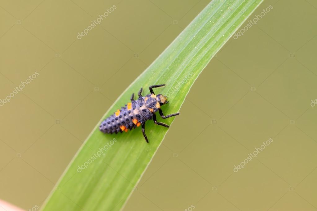 Harmonia axyridis larvae