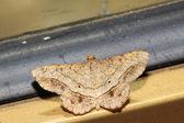 moly rovar, pillangó