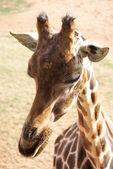 žirafa - žirafu souhvězdí žirafy