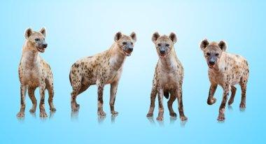 Group Of Hyenas