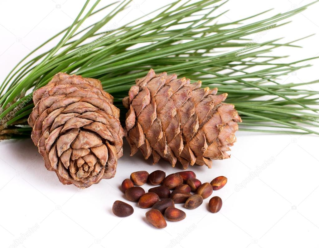 Cedar cones with nuts