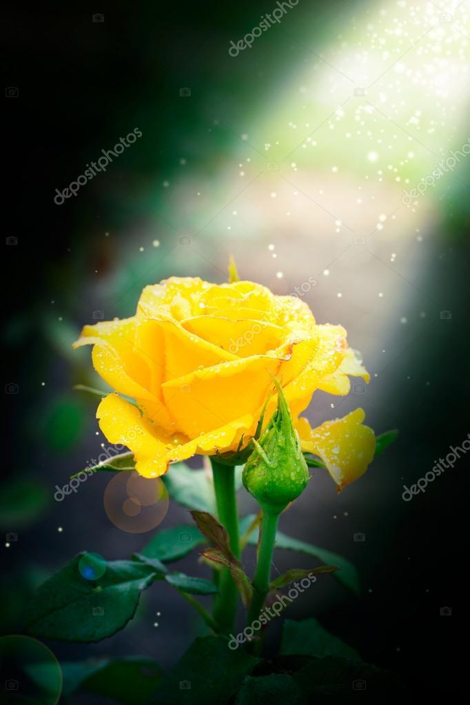 Beautiful rose outdoor