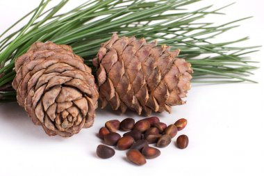 Cedar cones with nuts
