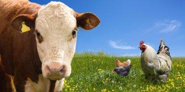 Farm animals on green field