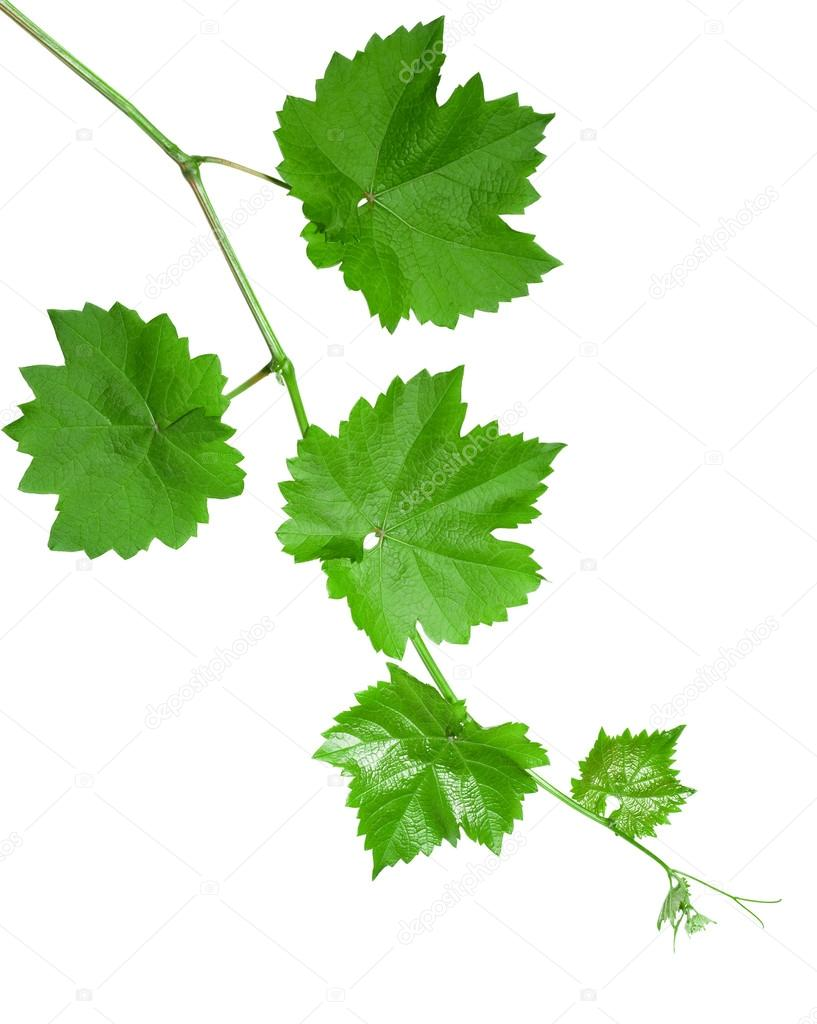 how to use grape vine leaves for eating