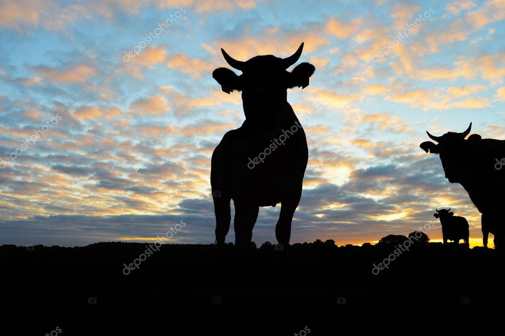 Silhouette of Cows
