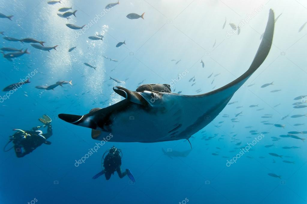 Manta and divers on the reef