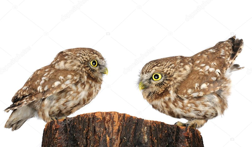 Two owl