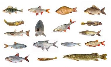 species of river fish