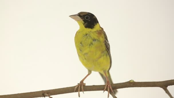 Beautiful yellow-bellied bird on a branch